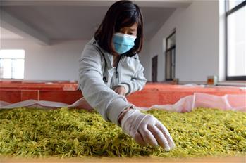安徽巢湖:黃金茶鋪就致富路