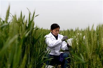 安徽懷遠:小麥育種忙