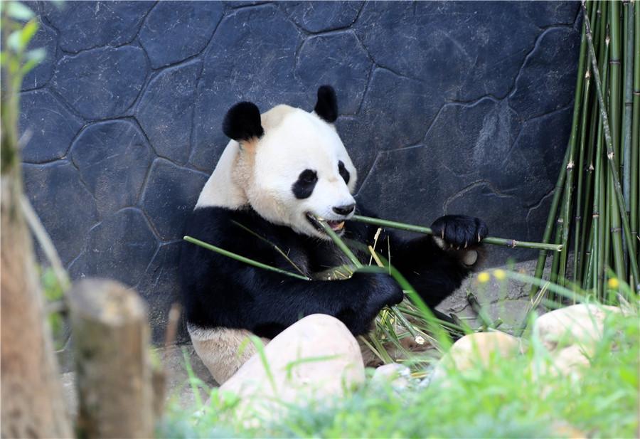 曬太陽吃美食,大熊貓享受春天的樣子萌翻了!