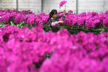 """安徽肥西:""""花卉經濟""""助力脫貧攻堅"""