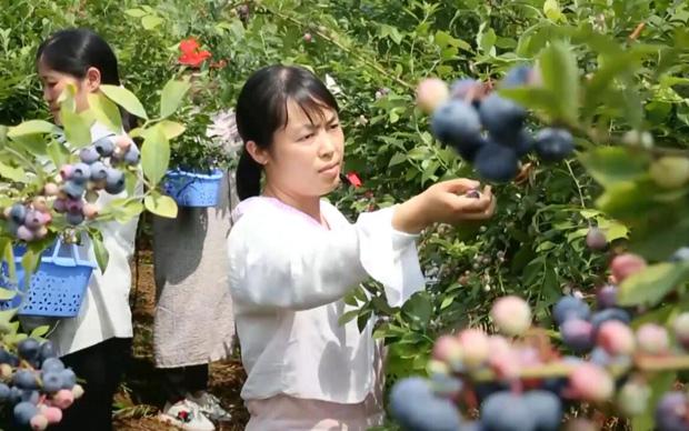 微視(shi)頻︰藍莓特(te)色產業(ye) 助力脫貧攻堅