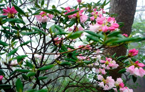 初夏時節 杜鵑花開