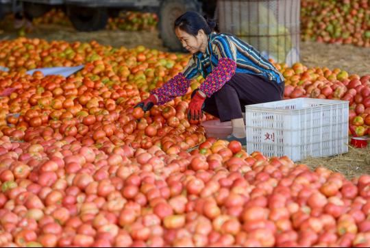 """和縣(xian)西紅柿(shi)""""紅火""""上市(shi)"""