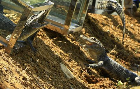 安徽開展大規模揚子鱷野外放歸活動
