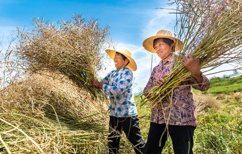 安徽銅陵:油菜喜豐收 農民收割忙