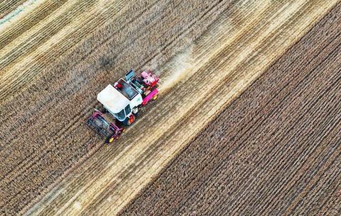 小麥開鐮收割