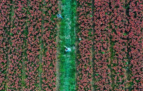 航拍:百合花開農旅路