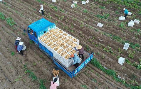 """安徽蒙城:""""訂單馬鈴薯""""助農增收"""