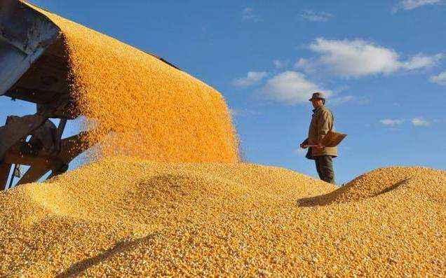 托市收購後安徽小麥價格提振 價格略有上漲