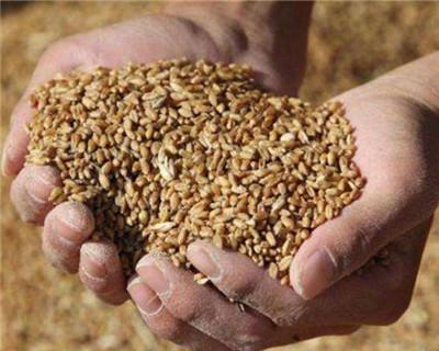 安徽省已收購小麥124.5萬噸 夏糧質量高于往年