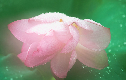 荷花朵朵 驚艷綻放