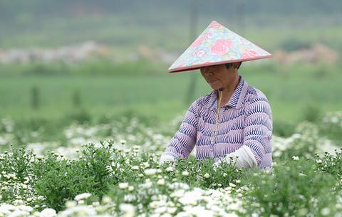 安徽黃山:梅雨初放晴 菊農採摘忙
