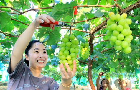 真甜!扶貧葡萄豐收了