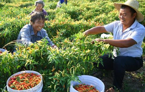 安徽亳州:小小辣椒助增收