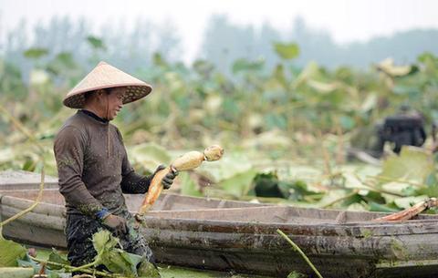 安徽霍邱:蓮藕種植助力脫貧增收
