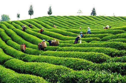 安徽茶博會舉辦多場品牌推介宣傳活動