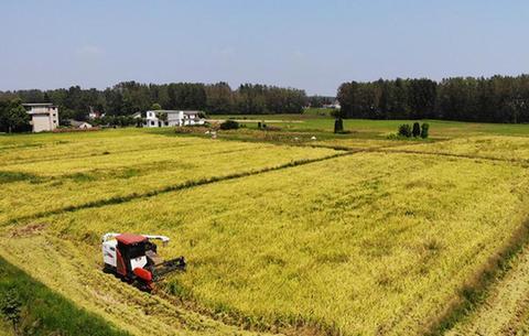 安徽肥東:稻田飄香收獲忙