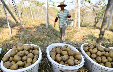 安徽肥西:發展特色種植 助力脫貧增收