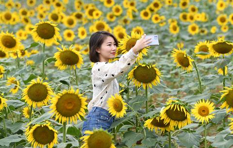 安徽巢湖:百萬葵花向陽開