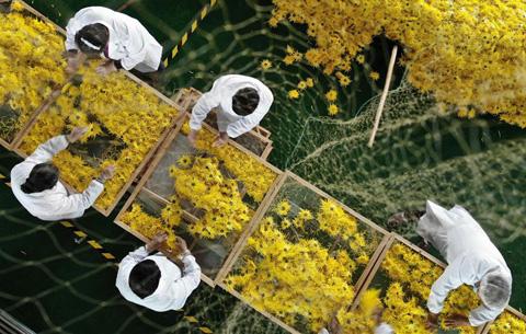 安徽肥東:菊花喜獲豐收