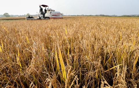 安徽:早翻晚水稻喜獲豐收