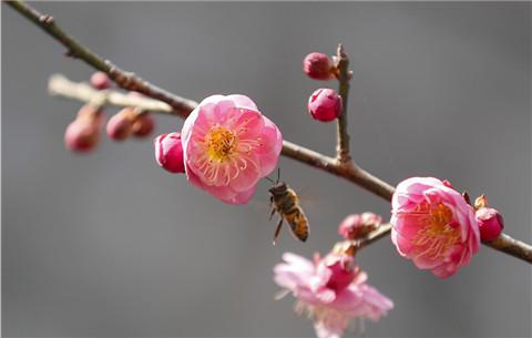 安徽黃山:立春至 梅花開