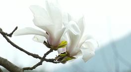微視頻:望春花開 鄉村入畫