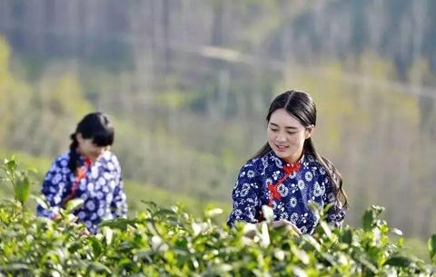 首屆安徽國際茶旅大會暨祁紅採摘節舉辦