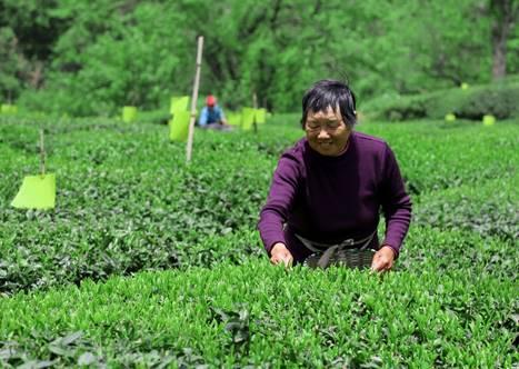 休寧縣第三屆流口茗洲有機茶文化旅遊節開幕