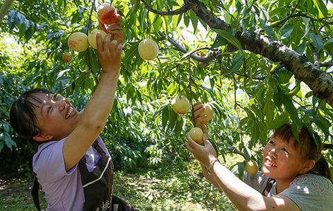 安徽黃山:蜜桃熟 採摘忙